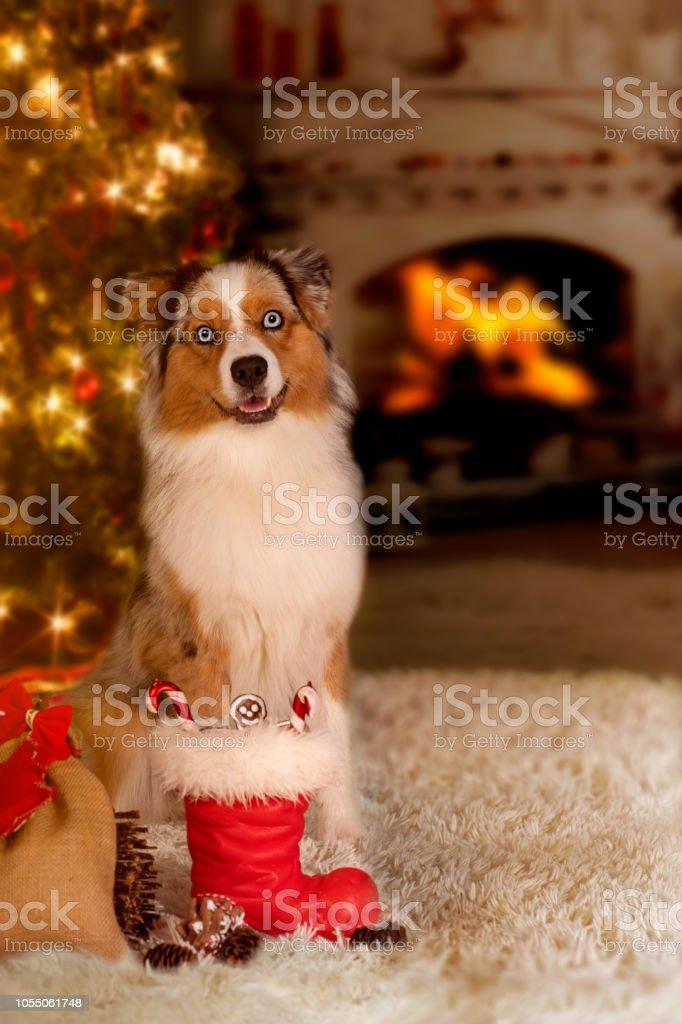 The Christmas Shepherd.Dog Australian Shepherd Sitting In Front Of The Christmas