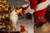 Dog; Australian Shepherd with Santa Claus