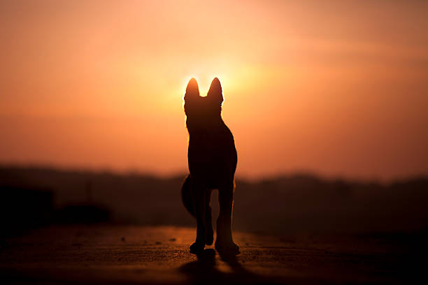 dog backlight silhouette in sunset - 死亡 個照片及圖片檔