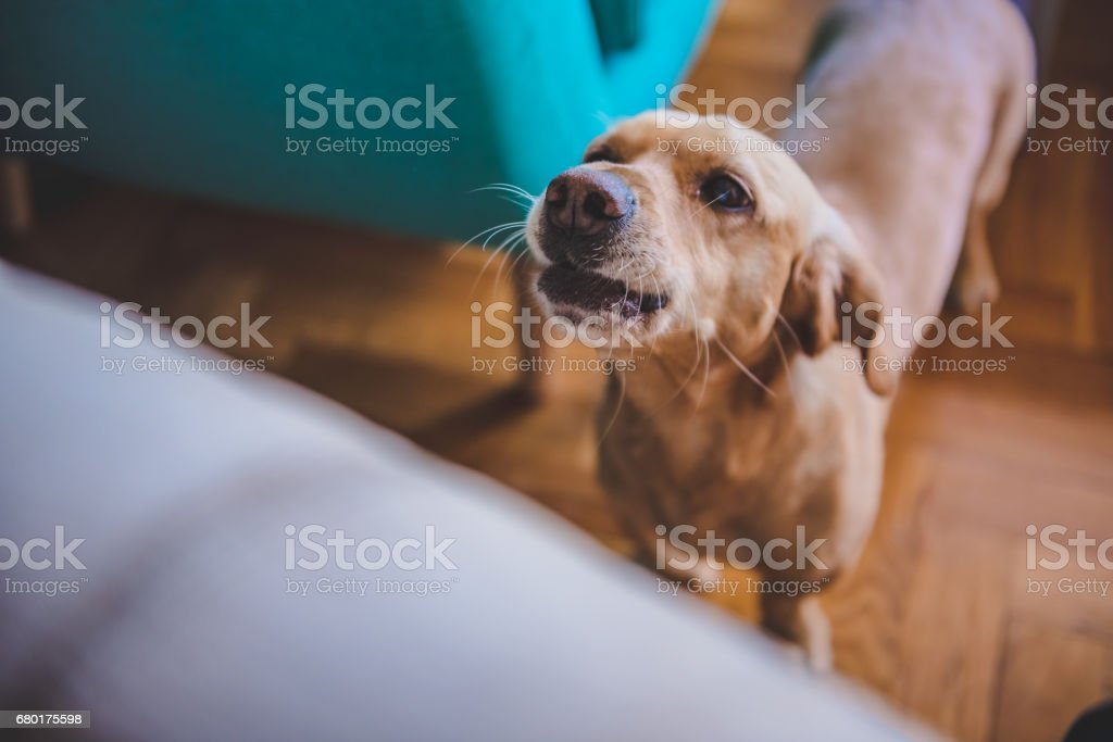 Dog barking at home stock photo