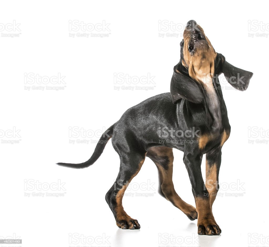 dog barking stock photo