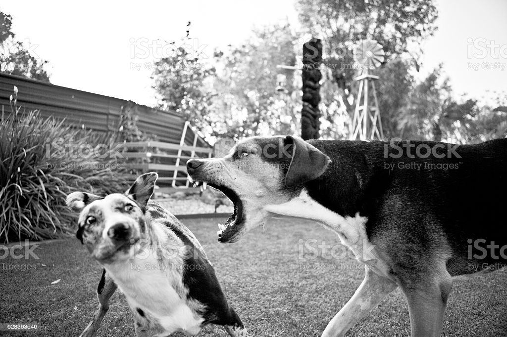 Dog Barking stock photo
