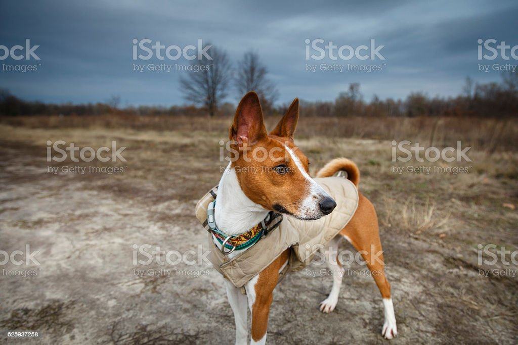 Dog basenji in steppe stock photo