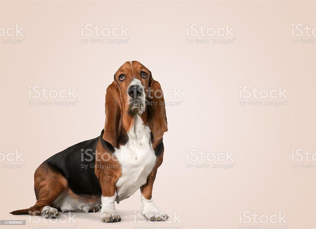 PSA, pies gończy Basset – zdjęcie
