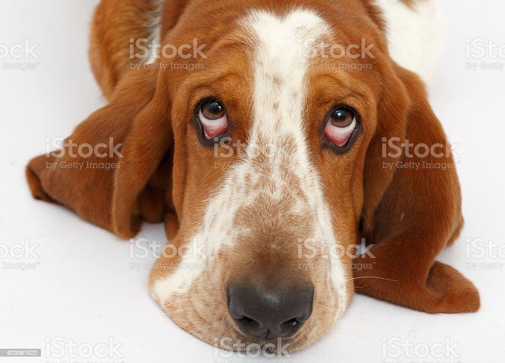 Dog, basset hound, isolated – zdjęcie