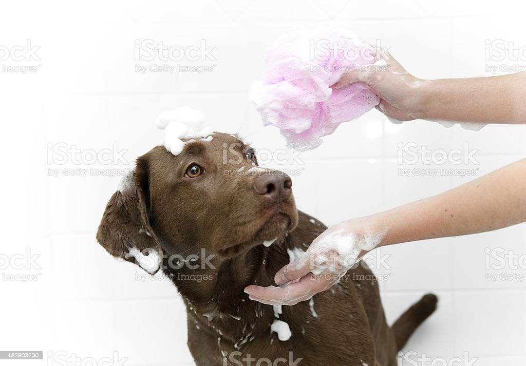 Dog Bath royalty-free stock photo