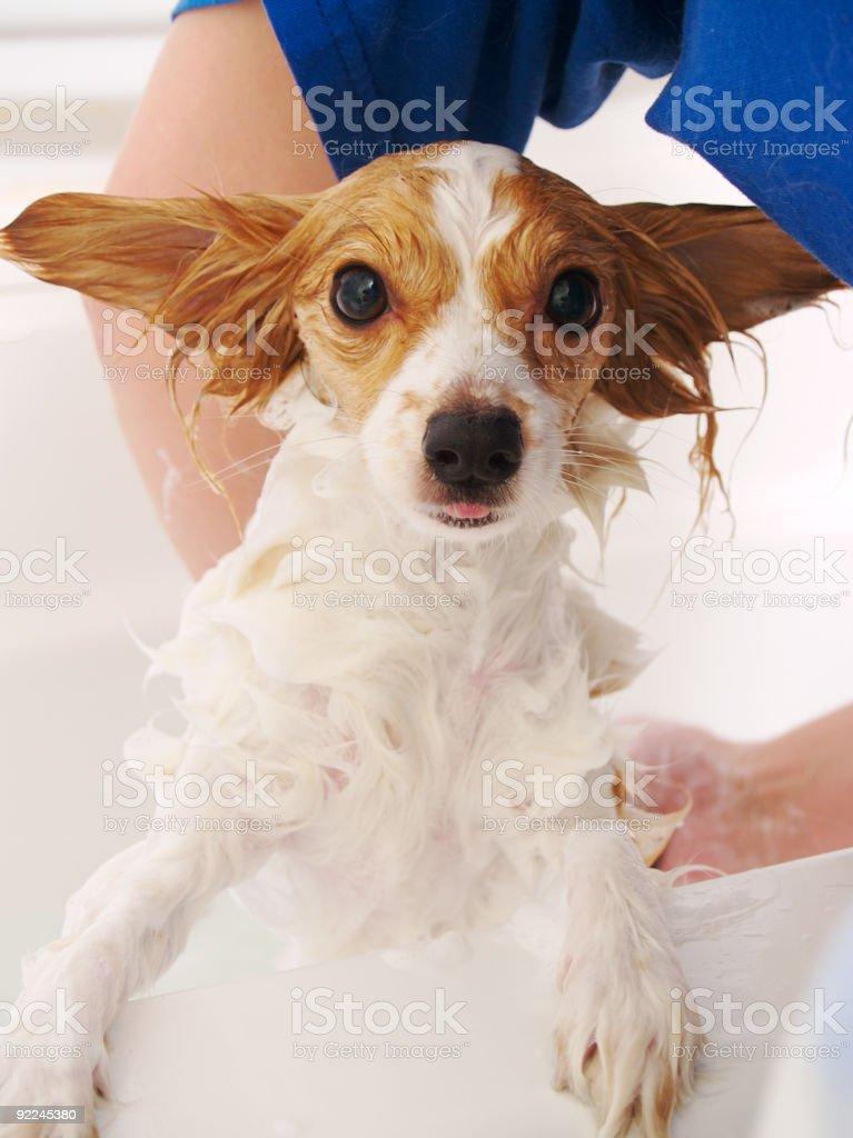 Dog Bath royalty-free stock photo