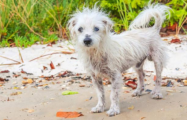 hund beach - chinesische schopfhunde stock-fotos und bilder