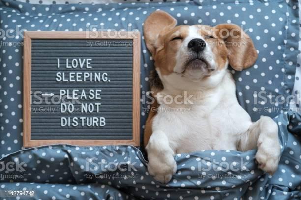 Dog beagle funny sleeping on the pillow next to the board with the i picture id1142794742?b=1&k=6&m=1142794742&s=612x612&h=66xgn2qtcokegtofxelendk7mxg2szobstb0qz6ceaq=
