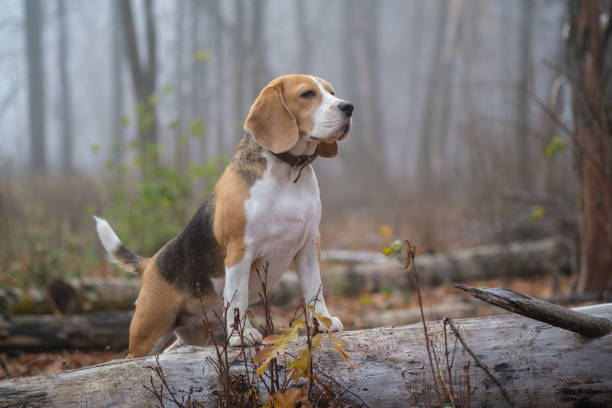 dog Beagle in thick fog while walking in autumn Park portrait of a Beagle dog on the background of thick fog during a walk in the autumn Park beagle stock pictures, royalty-free photos & images