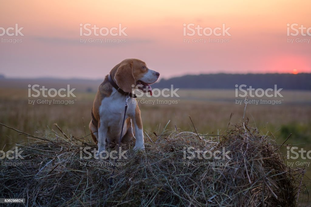 Dog Beagle on a roll of hay at sunset stock photo