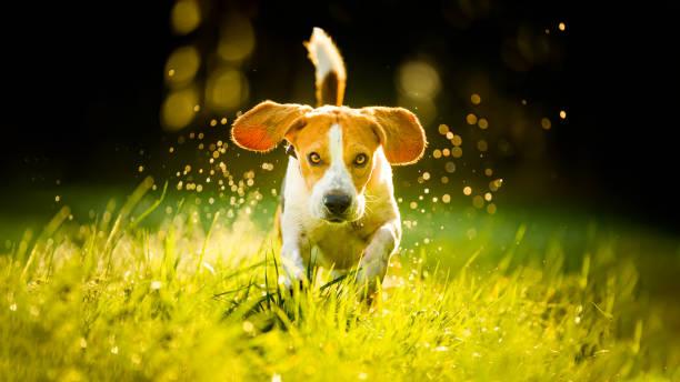 Dog beagle running fast and jumping with tongue out through green picture id1210507747?b=1&k=6&m=1210507747&s=612x612&w=0&h=dqo3wf0tgmgsrqux7b gju1vzm6kcj25c9ab0wmvezo=