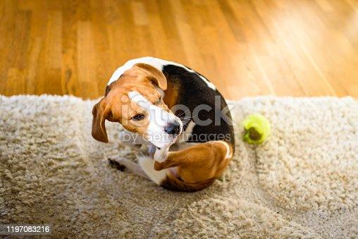 Dog Beagle scratches himself on carpet, indoors. Dog background