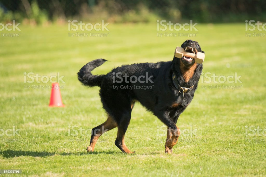 Dog, Beauceron, fetching and running with dumbbell stock photo