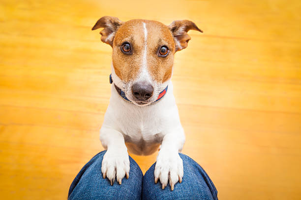 Dog begging by putting front paws on someones lap picture id470838500?b=1&k=6&m=470838500&s=612x612&w=0&h=xwfq1 mryezzfwtoe1pbsaj yixxkzpve2qgrhqxyao=