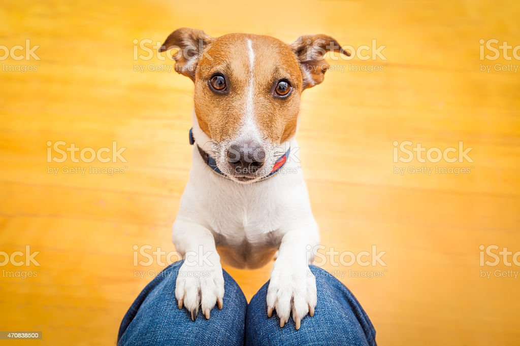 Dog begging by putting front paws on someone's lap stock photo