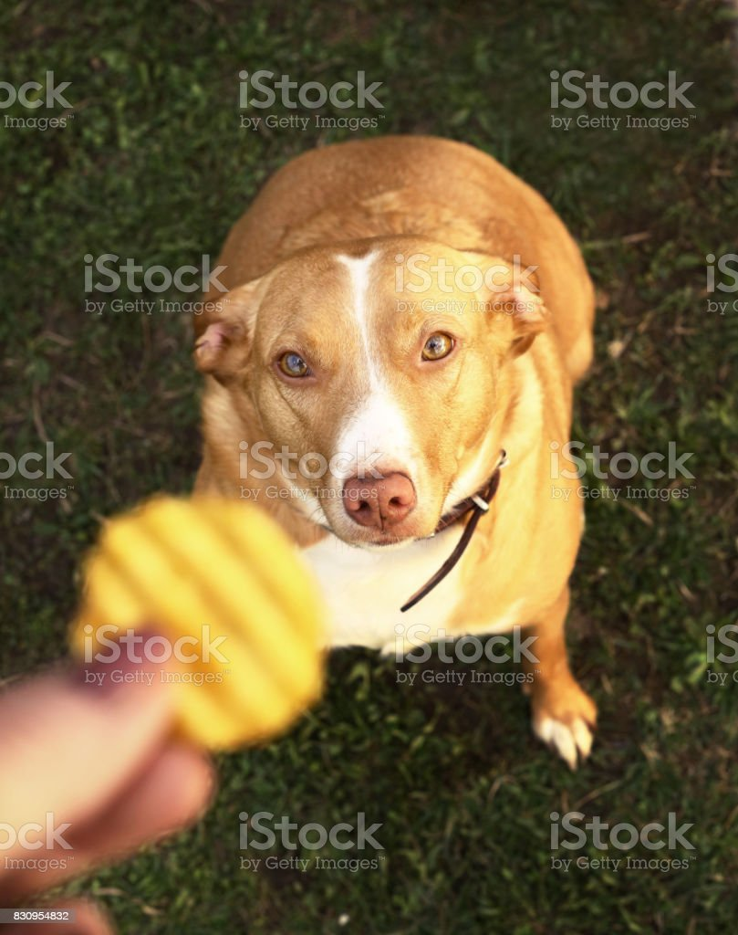 Dog Begging For Potato Chips From Master Hand Close Up