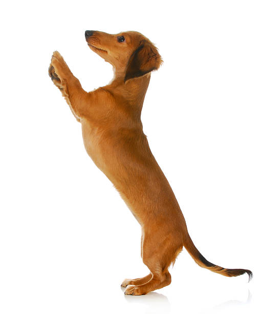 dog begging stock photo