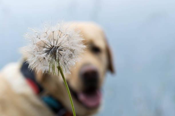 A dog behind a dandelion