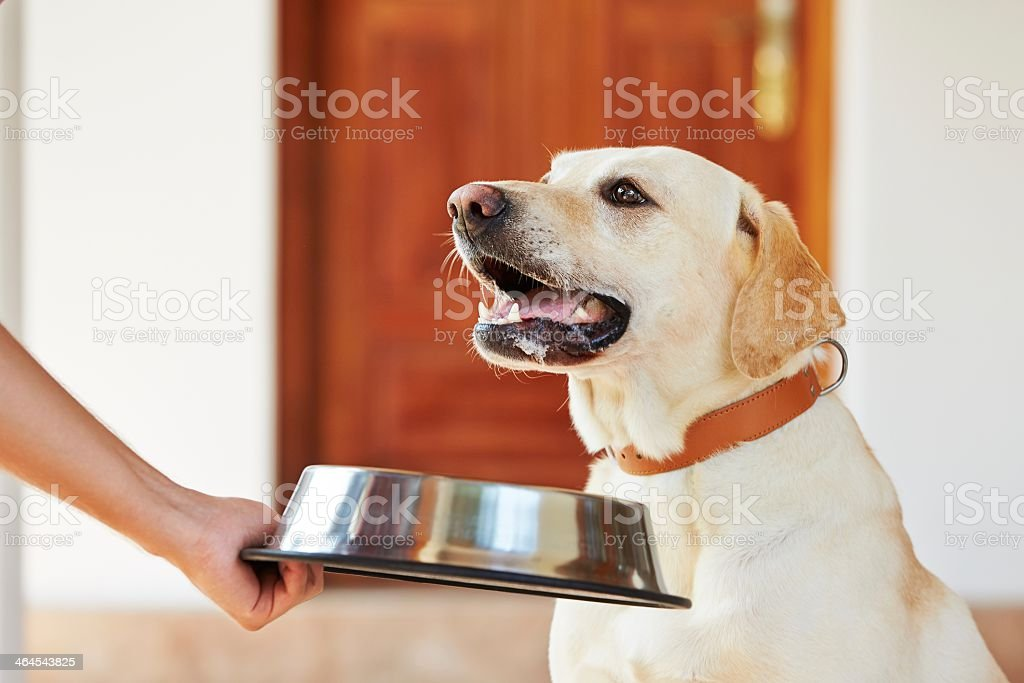 A dog being offered a silver food bowl stock photo
