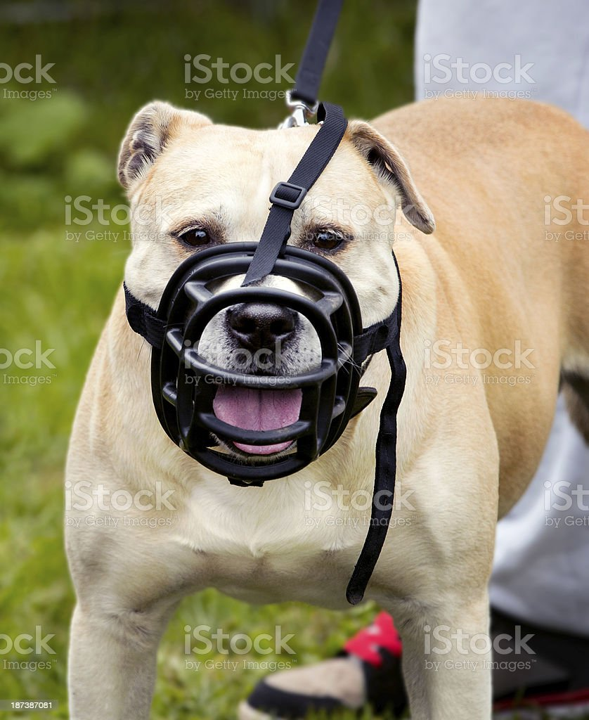 A dog being restrained with a muzzle stock photo