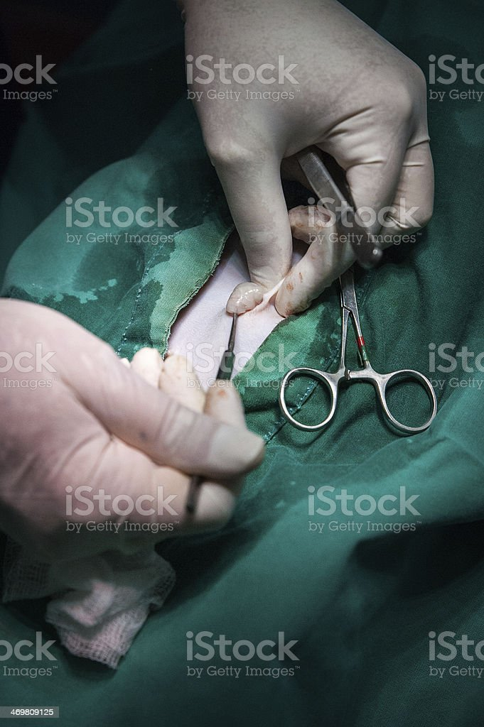 Dog being sterilised stock photo