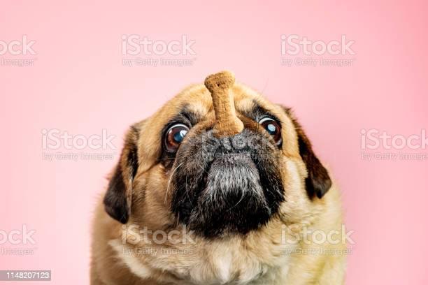 Dog being teased with a biscuit picture id1148207123?b=1&k=6&m=1148207123&s=612x612&h=qotxe51 ncrgoxtssge8ngp2u7gdxqqzeu9udvmlrt0=