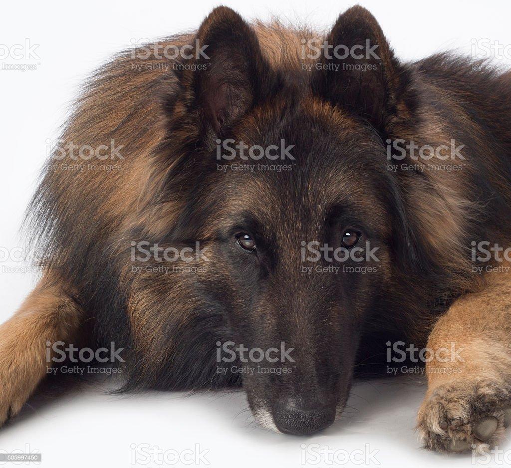 Dog, Belgian Shepherd Tervuren, close up head stock photo