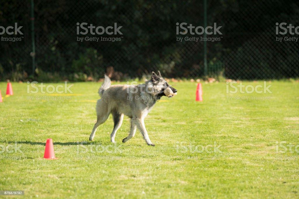 Dog, Belgian Shepherd Tervuren, fetching and running with dumbbell stock photo