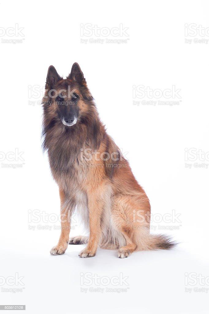 Dog, Belgian Shepherd Tervuren, isolated stock photo