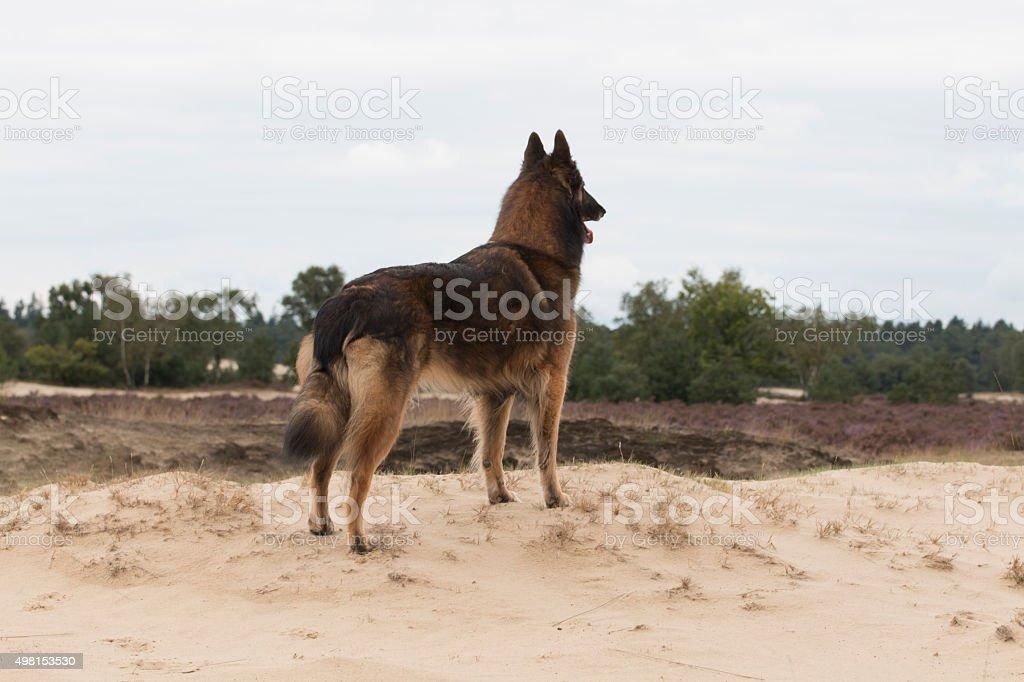 Dog, Belgian shepherd Tervuren, looking out over dunes stock photo