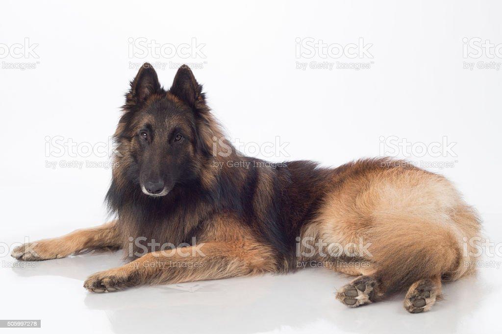 Dog, Belgian Shepherd Tervuren, lying, isolated stock photo