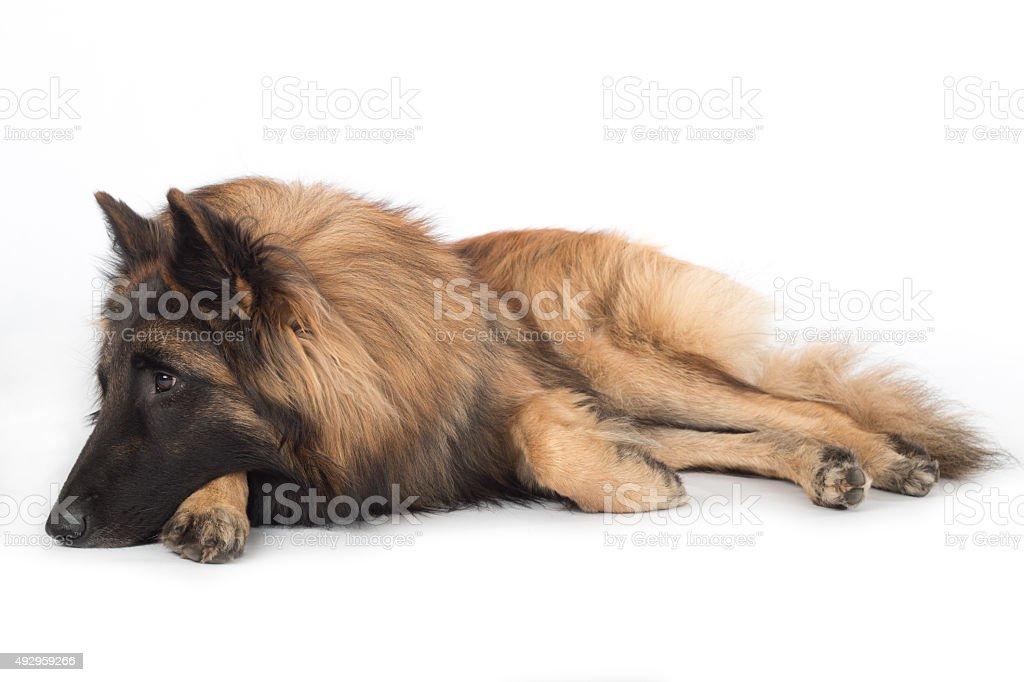 Dog, Belgian Shepherd Tervuren, lying stock photo