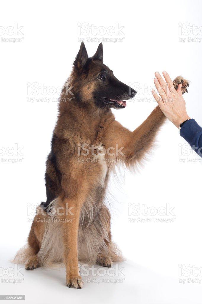 Dog, Belgian Shepherd Tervuren, paw in human hand, isolated stock photo
