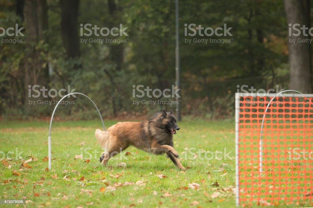 Dog, Belgian Shepherd Tervuren, running in agility training stock photo