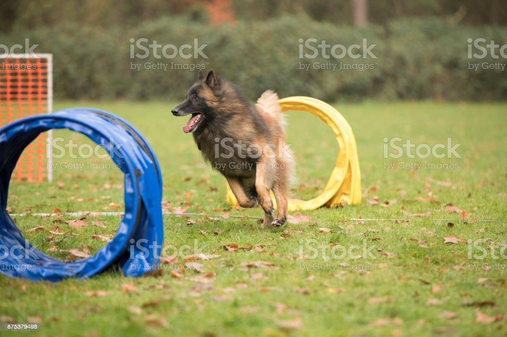 Dog, Belgian Shepherd Tervuren, running in hooper training stock photo