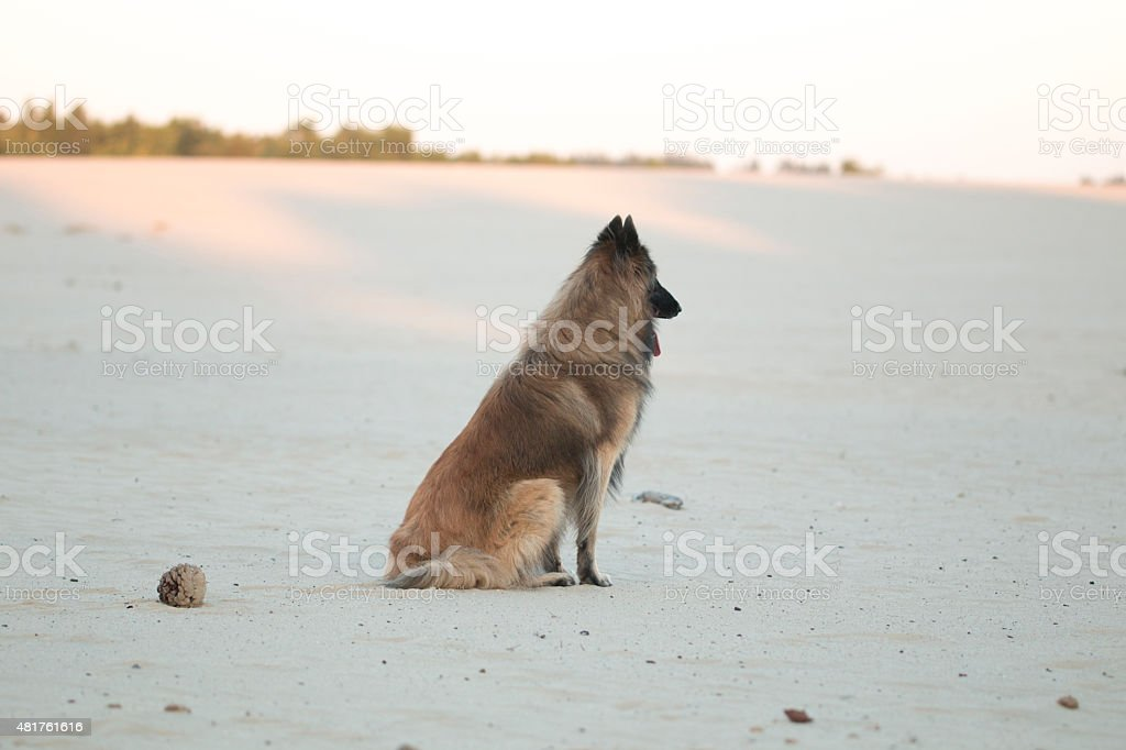 Dog, Belgian Shepherd Tervuren, sitting in sand plain stock photo