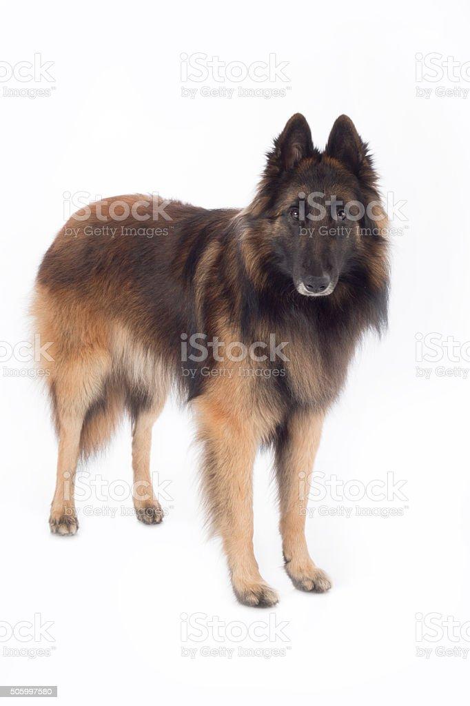 Dog, Belgian Shepherd Tervuren, standing, isolated stock photo