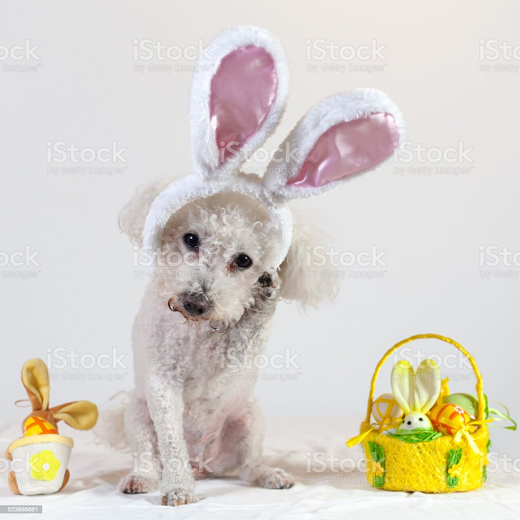 dog bichon happy easter stock photo