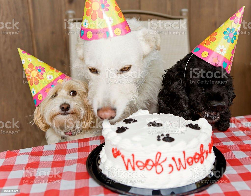 Dog Birthday Party Eating Cake stock photo