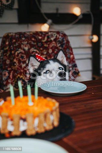 cute husky dog celebrates a birthday