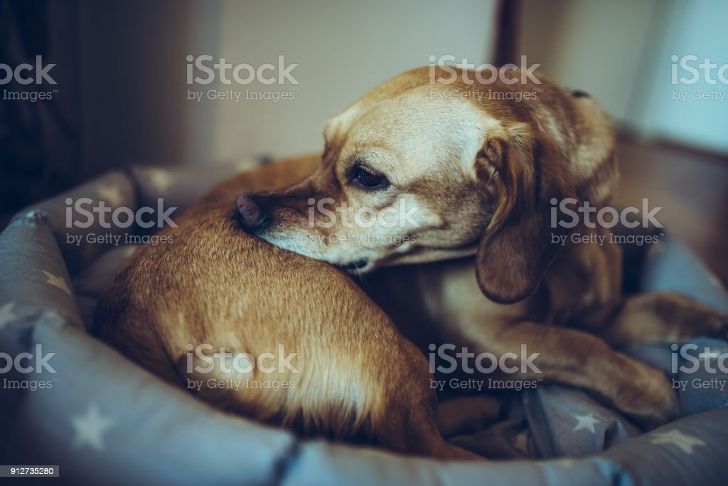 Dog biting his back stock photo