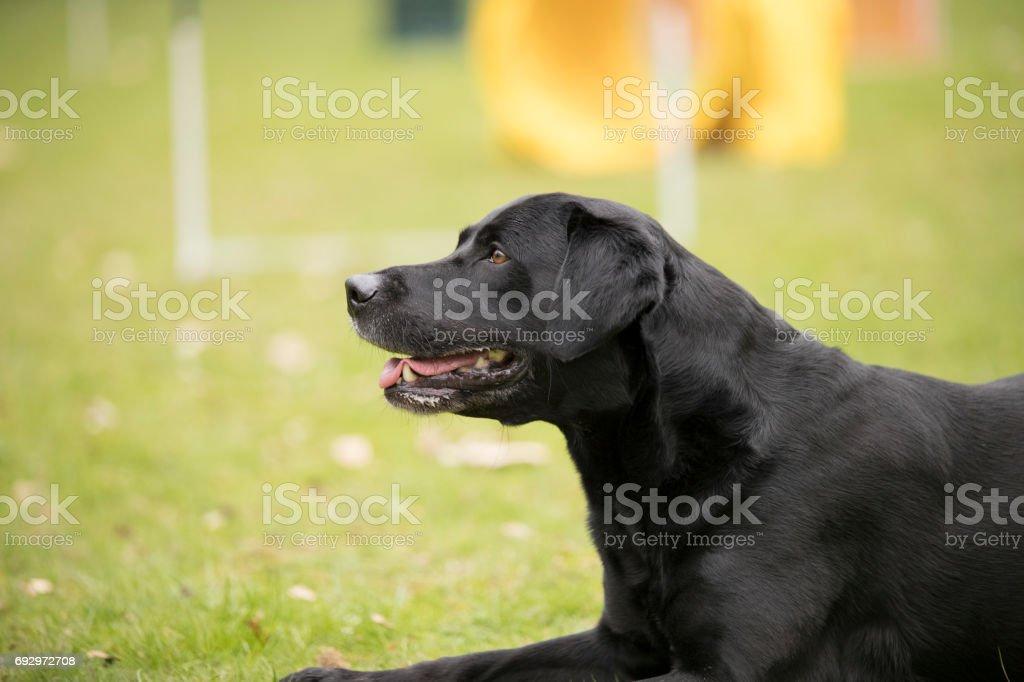Dog Black Labrador Retriever Lying Down Fotografie Stock E Altre