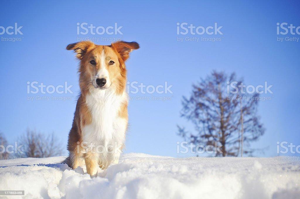 Hunde-border-collie im winter – Foto