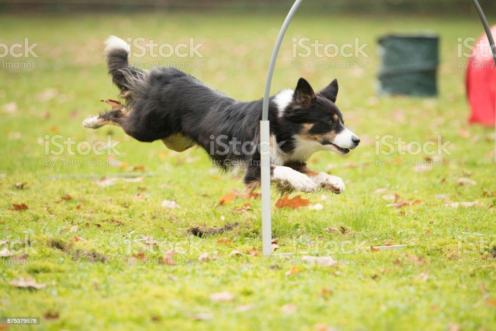 Dog, Border Collie, running in hooper training stock photo