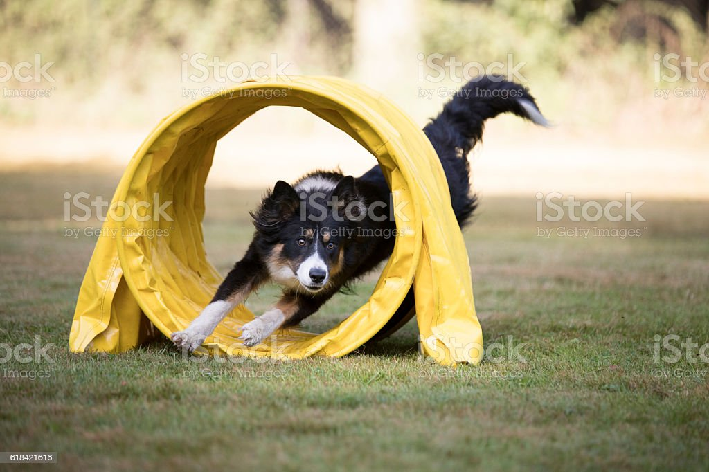 Dog, Border Collie, running through agility tunnel – Foto