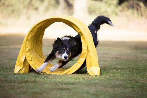 Dog, Border Collie, running through agility tunnel - Photo