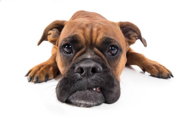 hund boxer braun liegt mit schnautze auf boden und guckt traurig - hundeplätze stock-fotos und bilder