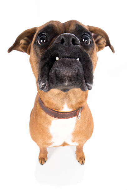 Dog boxer brown peers intently up with wide angle Hund Boxer braun guckt aufmerksam nach oben mit Weitwinkel zähne stock pictures, royalty-free photos & images