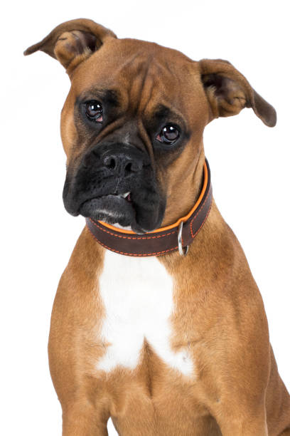 Dog boxer's brown head looks intently frontal with choker Hund Boxer Kopf braun guckt aufmerksam frontal mit Halsband zähne stock pictures, royalty-free photos & images